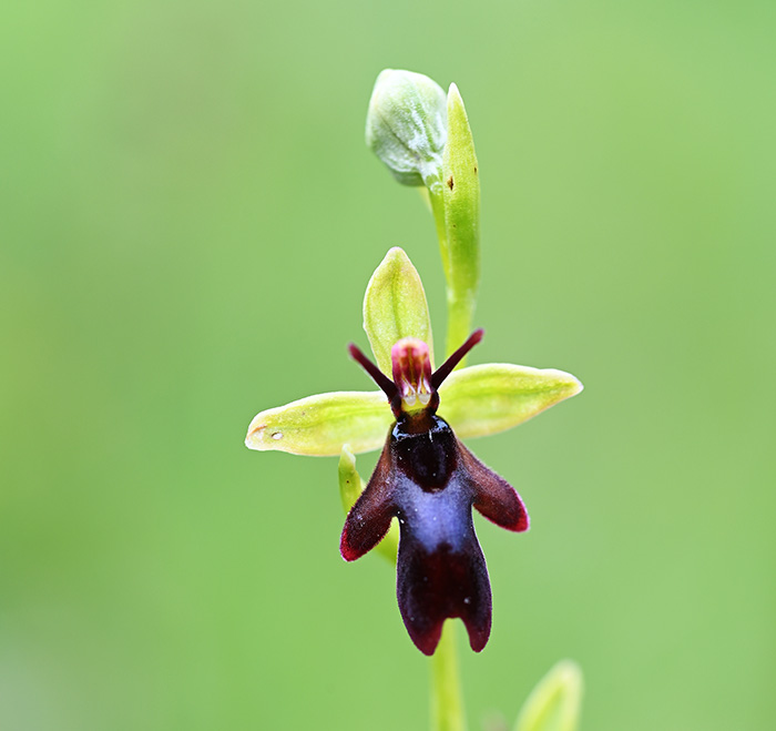 ophrys insectifera 1