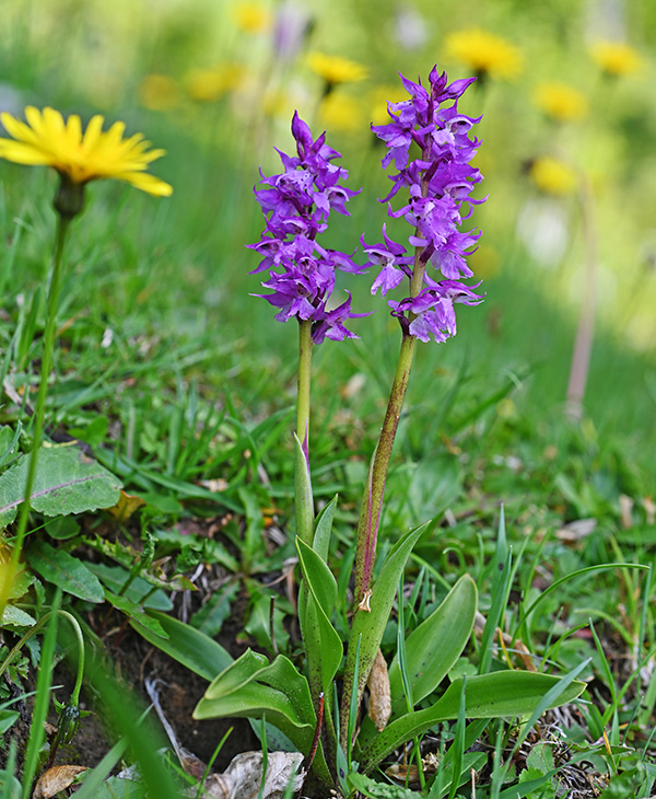 orchis mascula 1