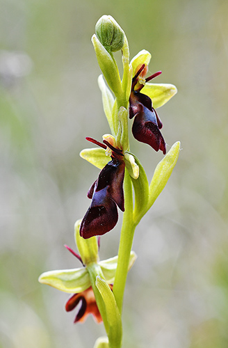 ophrys insectifera 3