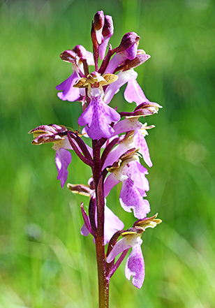 orchis spitzelii 2