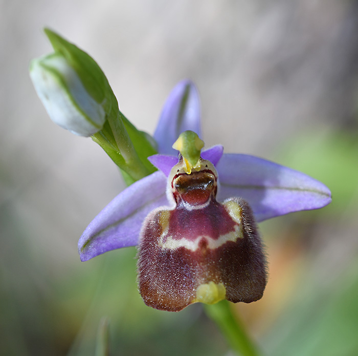 ophrys candica 3