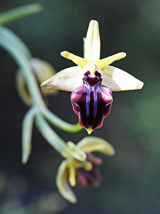 ophrys mammosa 4