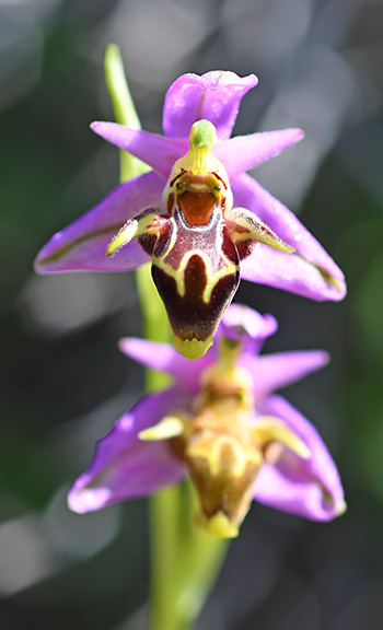 ophrys polyxo 3