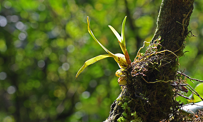 bulbophyllum spec