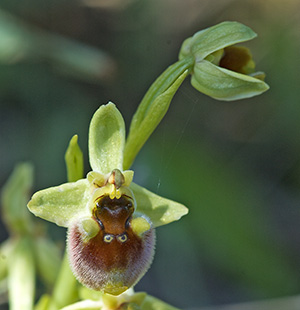 Ophrys levantina